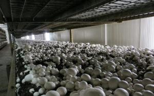 Coltivazione di funghi con nostro substrato